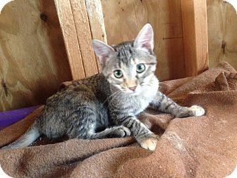 Calico Kitten for adoption in Harvey, Louisiana - Addie