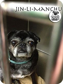 Pug Mix Dog for adoption in Pismo Beach, California - Jin