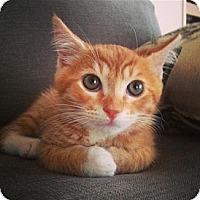 Adopt A Pet :: Tony Stark - Honolulu, HI