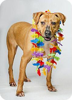 Rhodesian Ridgeback/Labrador Retriever Mix Dog for adoption in Jersey City, New Jersey - Busy Philipps