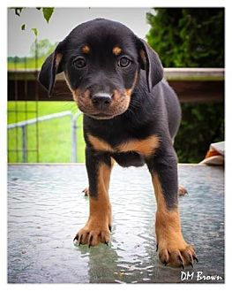 Dachshund Mix Puppy for adoption in Ashville, Ohio - Honeys pups