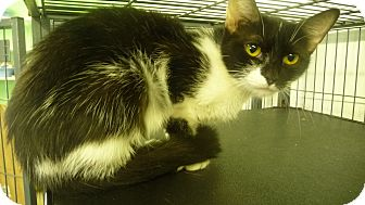 Domestic Shorthair Cat for adoption in Greenfield, Indiana - Phred