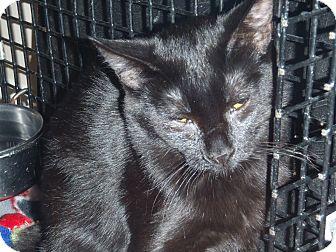 Domestic Shorthair Kitten for adoption in Acushnet, Massachusetts - Rose