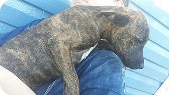 Labrador Retriever Mix Puppy for adoption in Glenburn, Maine - Paisley