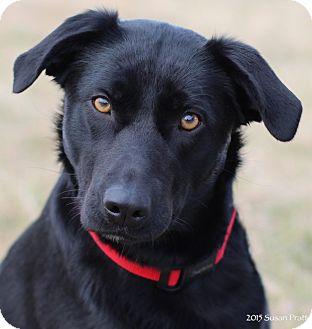 Labrador Retriever Mix Dog for adoption in Bedford, Virginia - Dixie Stix