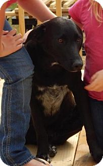 Labrador Retriever/Border Collie Mix Dog for adoption in Westport, Connecticut - Jackson