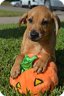 Black Mouth Cur Mix Puppy for adoption in Beaumont, Texas - Stan