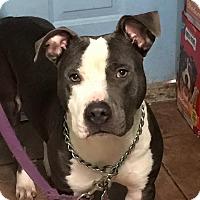 Adopt A Pet :: Reiki - Miami, FL