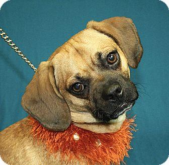 Pug/Beagle Mix Dog for adoption in Jackson, Michigan - Stubby