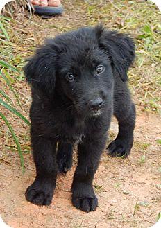Labrador Retriever/Husky Mix Puppy for adoption in West Sand Lake, New York - Chuck(6 lb) Fluffy Pup!