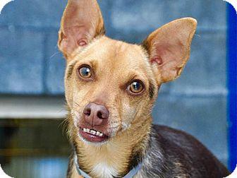 Chihuahua Mix Dog for adoption in Long Beach, California - Hunter