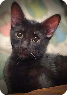 Domestic Shorthair Kitten for adoption in Wichita, Kansas - Patches