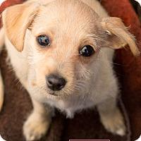 Adopt A Pet :: Cream - Marina del Rey, CA