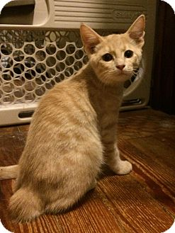 Domestic Shorthair Kitten for adoption in Scranton, Pennsylvania - Marshmallow