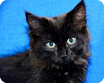 Norwegian Forest Cat Kitten for adoption in Buford, Georgia - Georgie
