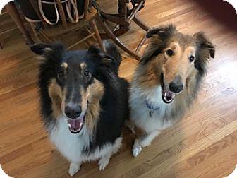 Collie Dog for adoption in Powell, Ohio - Valentine