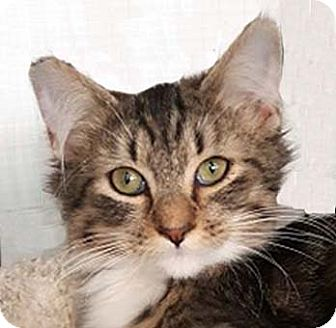 Maine Coon Cat for adoption in Tiburon, California - Hannah