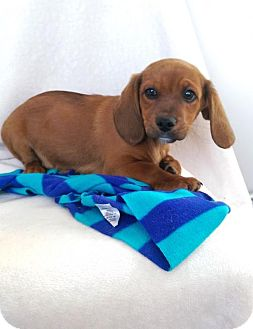 Beagle/Dachshund Mix Puppy for adoption in Elkton, Maryland - Mack
