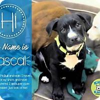 Adopt A Pet :: Rascal- in Ct - East Hartford, CT