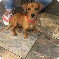 Adopt A Pet :: Scooby - Arlington, WA