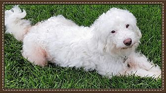 Poodle (Miniature)/Mixed Breed (Small) Mix Dog for adoption in Newfield, New Jersey - Bailey