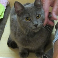 Russian Blue Cat for adoption in Wheaton, Illinois - Pewter