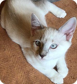Siamese Kitten for adoption in Buhl, Idaho - Silven