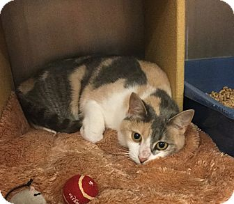 Calico Cat for adoption in Colmar, Pennsylvania - Sweet Pea