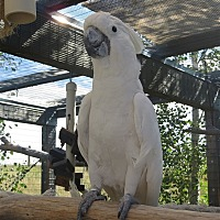 Cockatoo for adoption in Elizabeth, Colorado - Kiwi