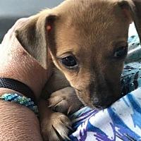 Adopt A Pet :: Sugar Cookie - Tampa, FL