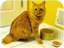 Maine Coon Cat for adoption in Arlington, Virginia - Strauss
