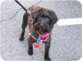 Poodle (Miniature)/Yorkie, Yorkshire Terrier Mix Dog for adoption in Key West, Florida - Stella