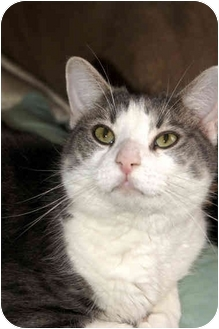 Domestic Shorthair Cat for adoption in Xenia, Ohio - Buddy