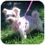 Photo 4 - Yorkie, Yorkshire Terrier Dog for adoption in West Palm Beach, Florida - Hailey