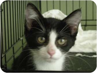 Domestic Mediumhair Kitten for adoption in Hurst, Texas - Sissy-more than a pretty face!