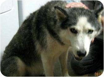Siberian Husky Dog for adoption in Clearwater, Florida - Rayne