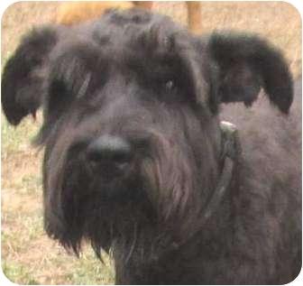 Miniature Schnauzer Dog for adoption in Muskogee, Oklahoma - Bat Man