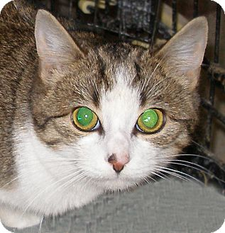 Domestic Shorthair Kitten for adoption in Cranford, New Jersey - Leia
