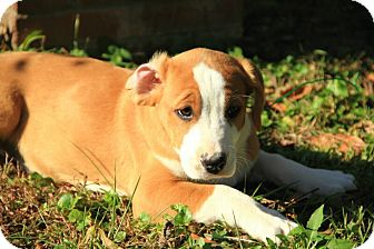 Boxer/American Bulldog Mix Puppy for adoption in Windham, New Hampshire - Bella
