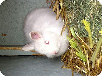 Angora, English for adoption in Lower Burrell, Pennsylvania - Snow White