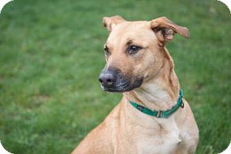 German Shepherd Dog/Boxer Mix Dog for adoption in Novelty, Ohio - Debbie