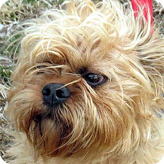 Brussels Griffon Mix Dog for adoption in Columbia, Illinois - Kirby