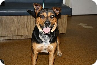 Cattle Dog/German Shepherd Dog Mix Dog for adoption in Wauchula, Florida - Wallie