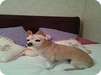 Chihuahua/Terrier (Unknown Type, Small) Mix Dog for adoption in Arenas Valley, New Mexico - Taz-URGENT!
