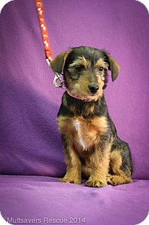 Terrier (Unknown Type, Small) Mix Puppy for adoption in Broomfield, Colorado - Frieda