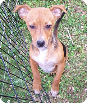 Miniature Pinscher/Terrier (Unknown Type, Small) Mix Puppy for adoption in Greensboro, Georgia - Kendal