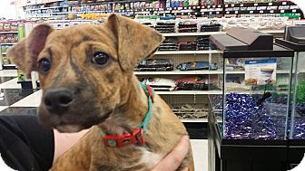 Boxer Mix Puppy for adoption in Lexington, Kentucky - Tera Jo