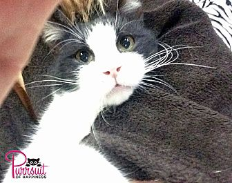 Domestic Shorthair Cat for adoption in Spring Branch, Texas - Nolan