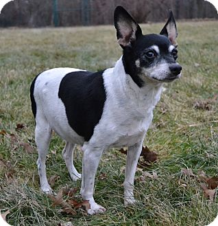 Rat Terrier Dog for adoption in Michigan City, Indiana - Sissy