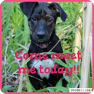 Labrador Retriever Mix Puppy for adoption in Westwood, New Jersey - Sadie